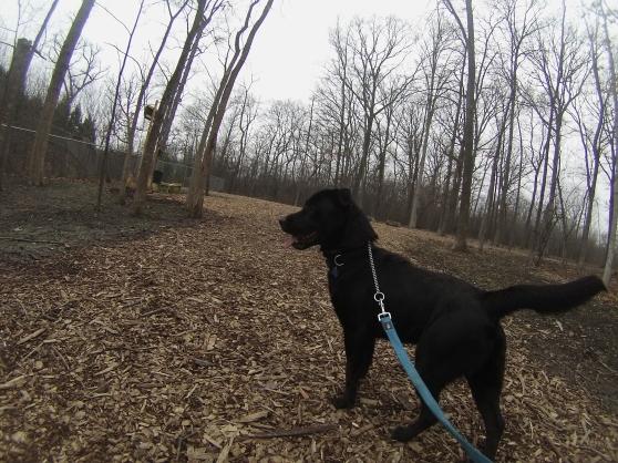 Coal Black Labrador Retriever mix 2
