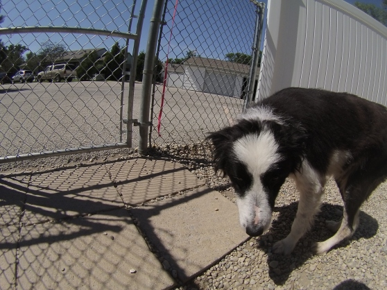 Orphans of the Storm Dogs: Andy Border Collie 2