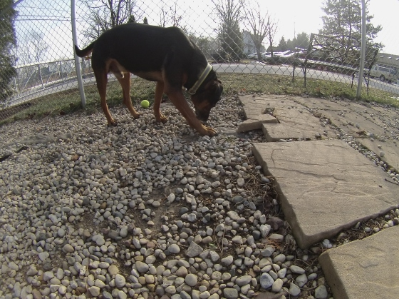Orphans of the Storm Dogs: Buddy Rottweiler 2