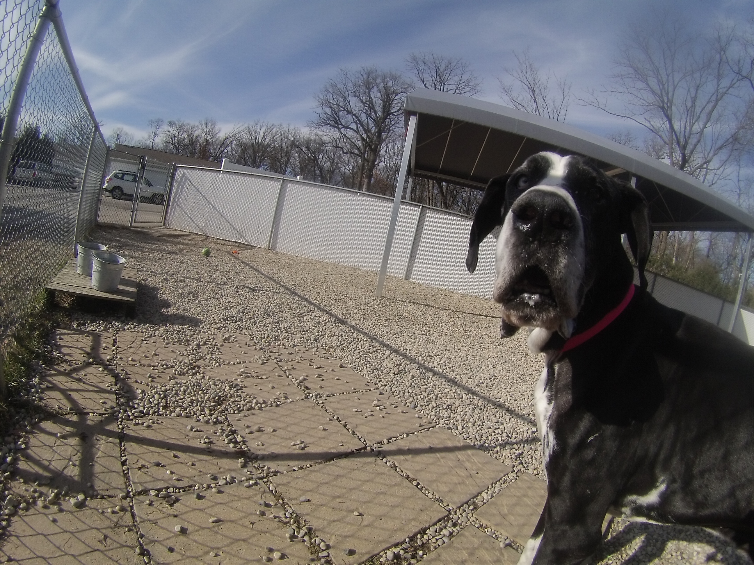 Orphans of the Storm Dogs: Max Great Dane 2