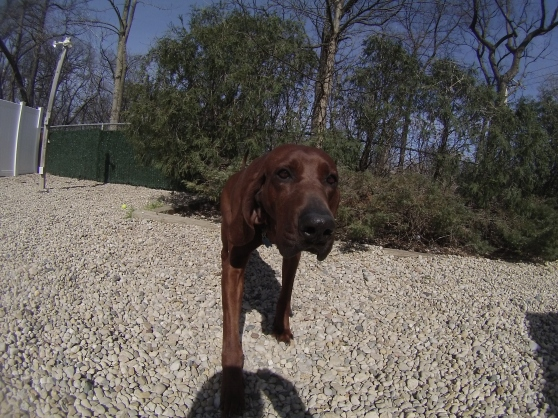 Orphans of the Storm Dogs: Tucker Coonhound 1