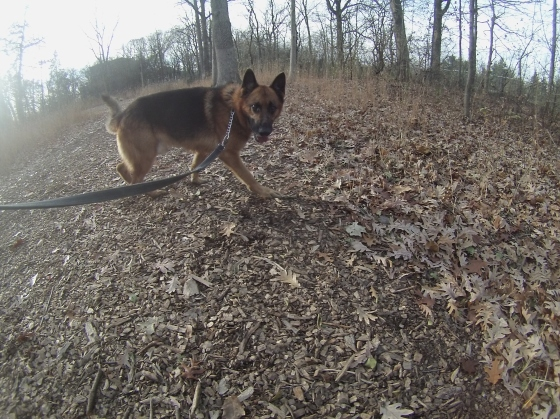 Orphans of the Storm Dogs: Gus GSD 2