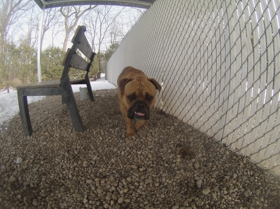 Orphans of the Storm Dogs: Rufus Bulldog 2