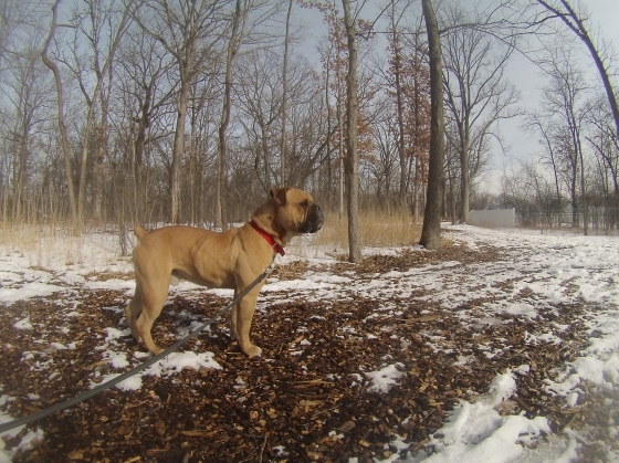 Orphans of the Storm Dogs: Rufus Bulldog 1