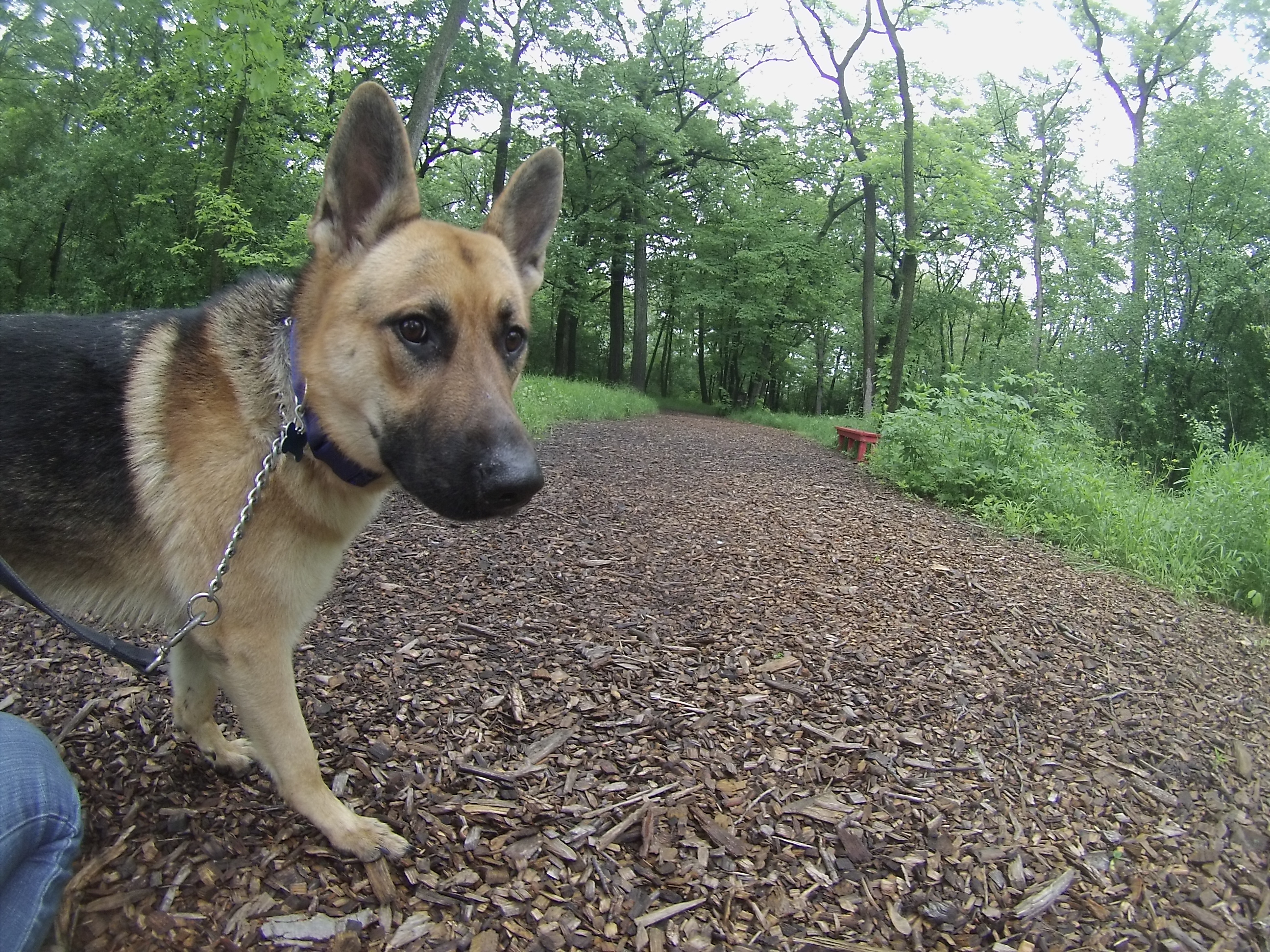Orphans of the Storm Dogs: Karma GSD 1