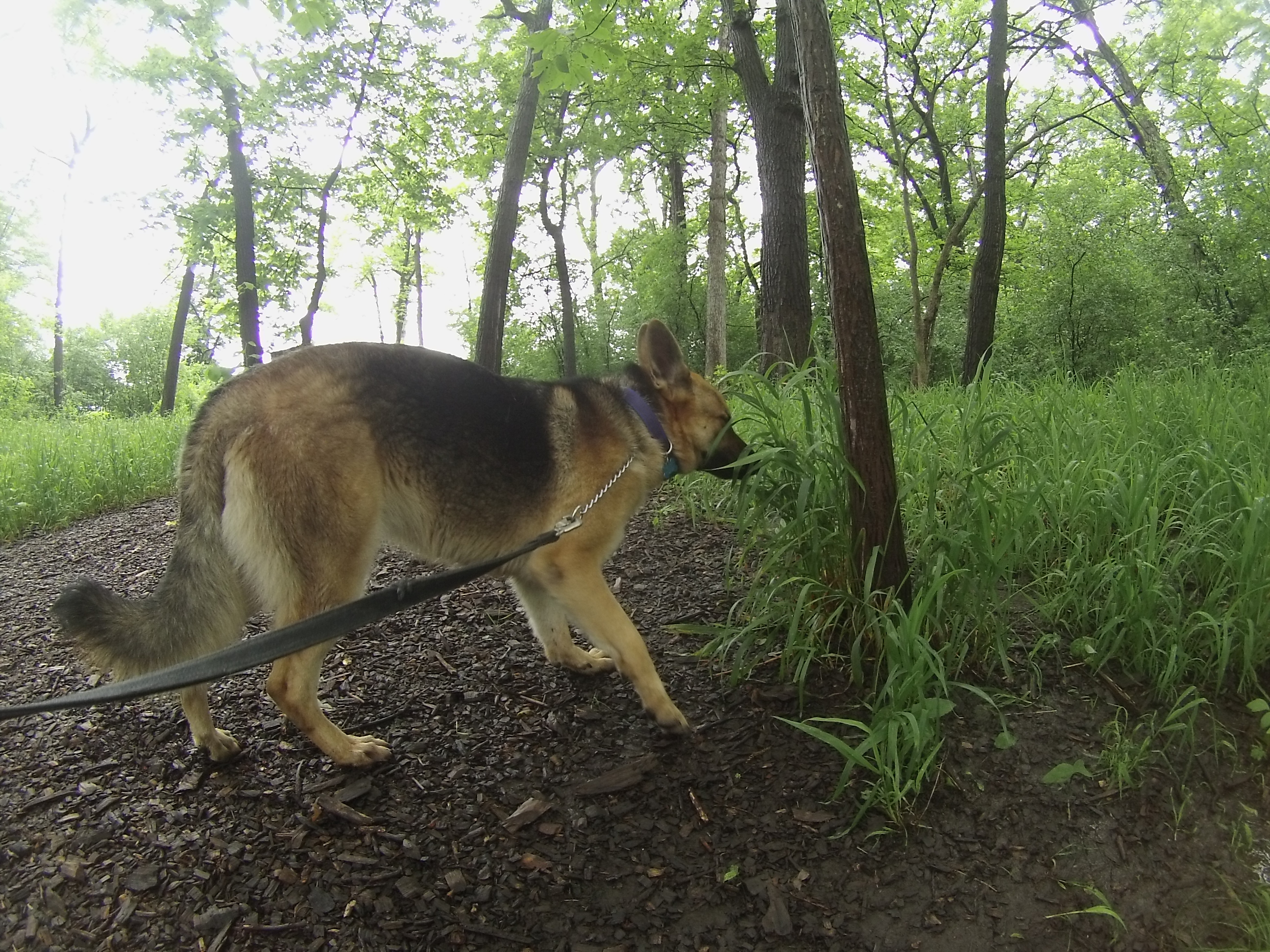 Orphans of the Storm Dogs: Karma GSD 2