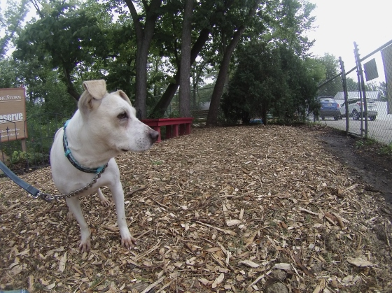 Orphans of the Storm Dogs: Chevy Terrier 1