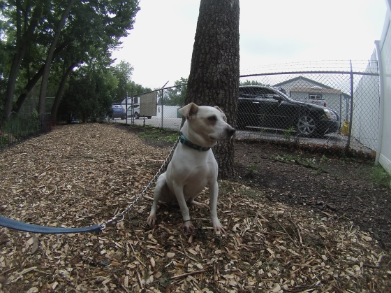 Orphans of the Storm Dogs: Chevy Terrier 2