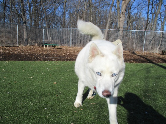 Orphans of the Storm Dogs: Tulip Husky 1