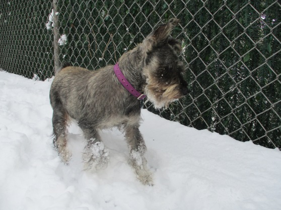 Orphans of the Storm Dogs: Tyson Schnauzer 1