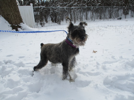 Orphans of the Storm Dogs: Tyson Schnauzer 2