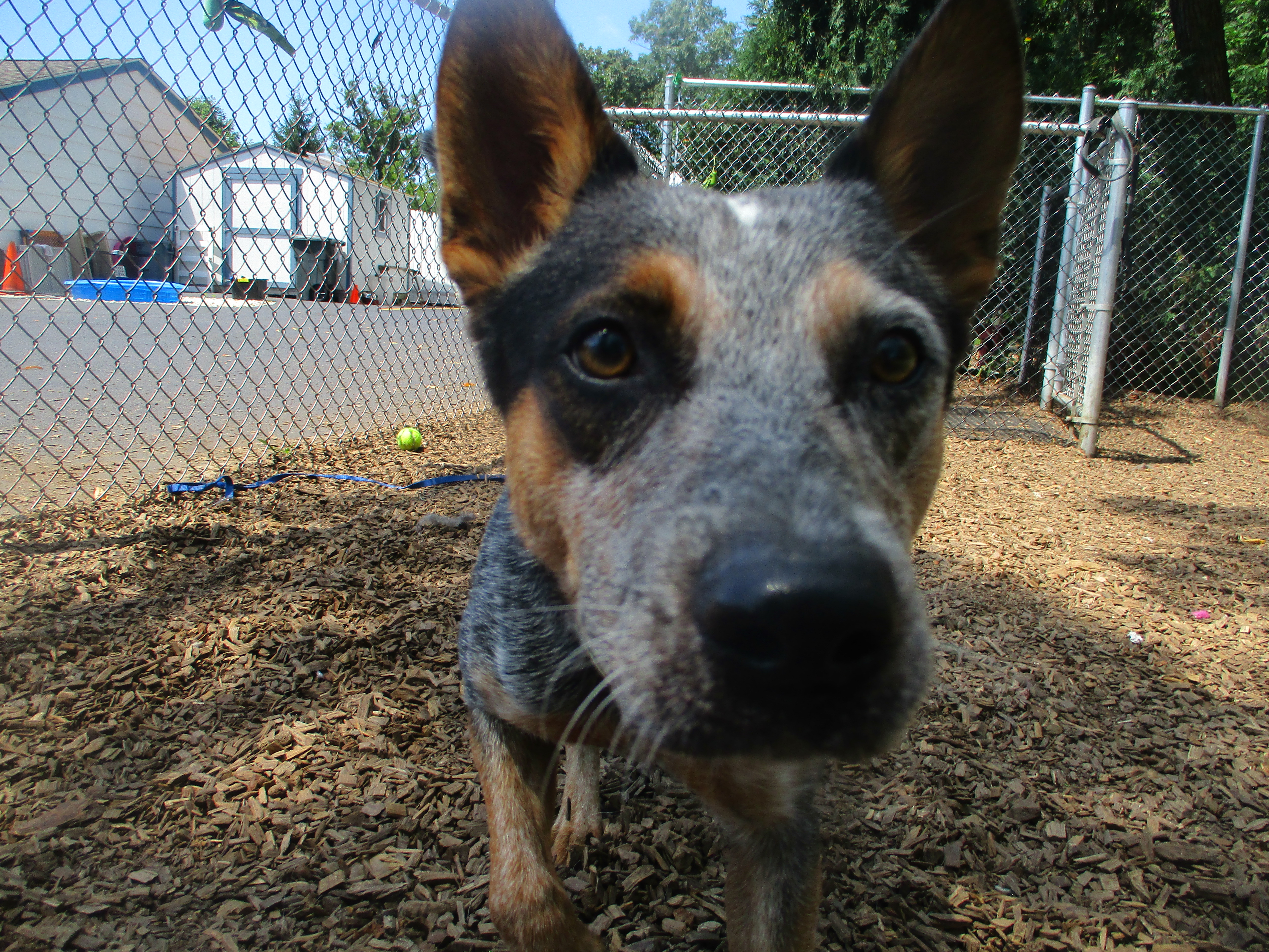 Orphans of the Storm Dogs: Bruno Cattle Dog 1