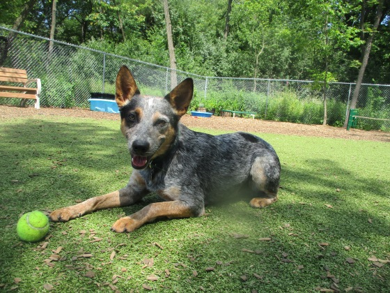 Orphans of the Storm Dogs: Bruno Cattle Dog 2
