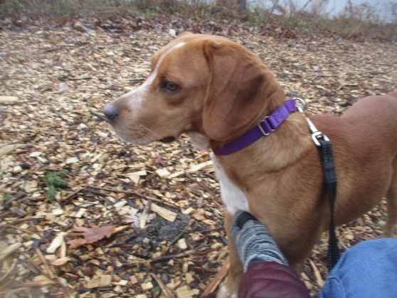 Orphans of the Storm Dogs: Cooper Beagle 2