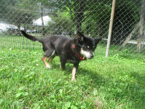 Orphans of the Storm Dogs: Bailey Chihuahua 2