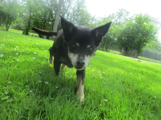 Orphans of the Storm Dogs: Bailey Chihuahua 1