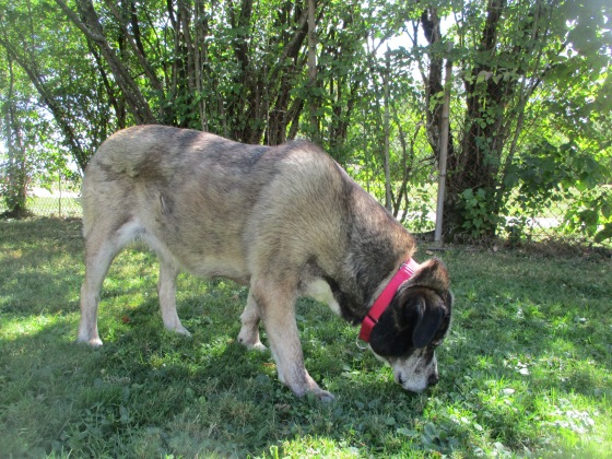 Orphans of the Storm Dogs: Ella Mastiff Husky 1