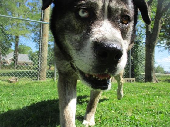 Orphans of the Storm Dogs: Ella Mastiff Husky 2